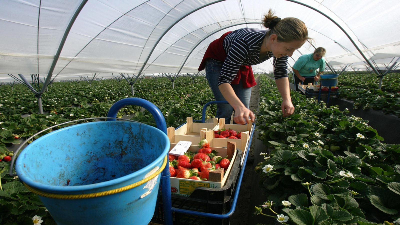 المغرب و إسبانيا يؤكدان على تطوير تجربة العمل في حقول الفواكه الحمراء