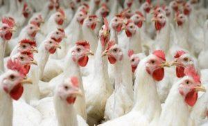 مربو الدجاج