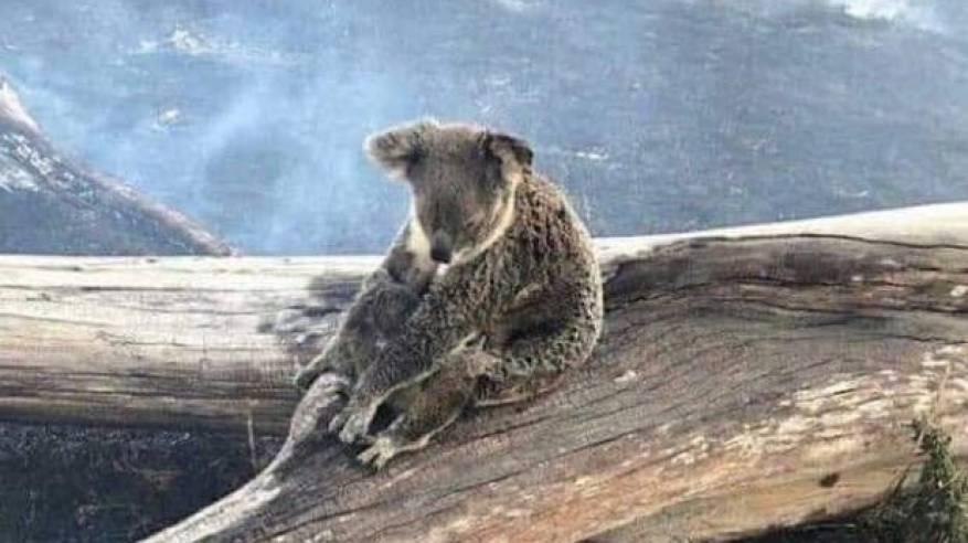 حرارئق استراليا