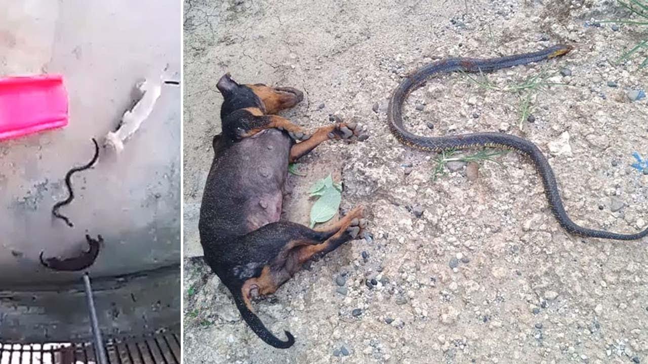 كلب يضحي بحياته وآخر ببصره لإنقاذ طفلة