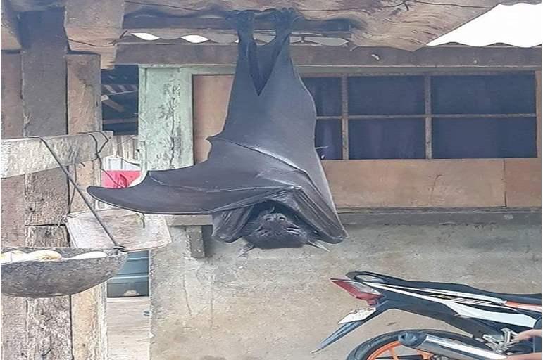 أضخم خفاش
