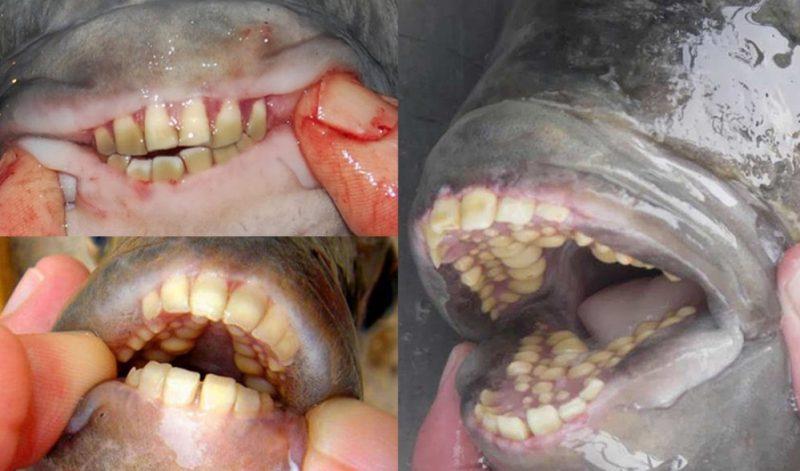 سمكة بأسنان بشرية