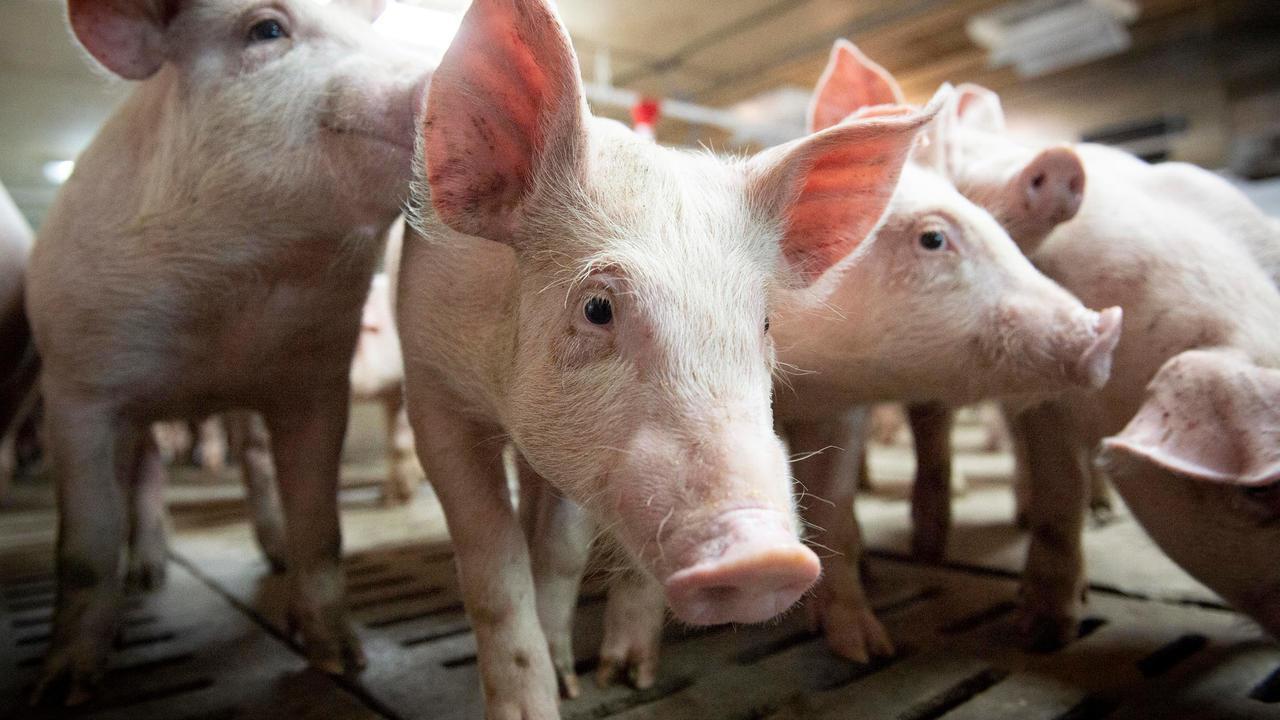 """2020 لن تمر مرور الكرام.. أول إصابة بإنفلونزا الخنازير """"إتش 1 أن 2"""" لدى البشر في كندا"""