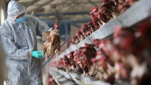 """المغرب يرفع من مستوى المراقبة تحسبا لظهور """"أنفلوانزا الطيور"""""""