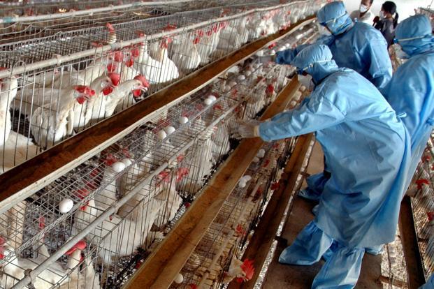 المغرب يرفع درجة الاستعداد لمنع إنفلونزا الطيور خلال فترة الهجرة