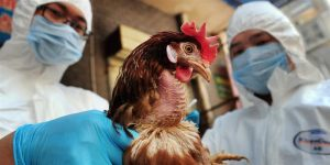 وفاة المغرب يرفع أنفلونزا الطيور الهند