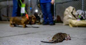 الفئران تغزو سجناً