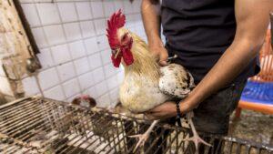 ثمن الدجاج